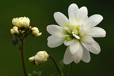 Meadow Saxifrage (Saxifraga granulata) flower and buds, Netherlands  -  Wil Meinderts/ Buiten-beeld