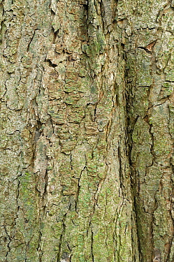Horse Chestnut (Aesculus hippocastanum) bark, Netherlands  -  Wil Meinderts/ Buiten-beeld