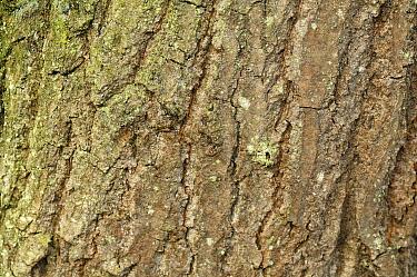 English Oak (Quercus robur) bark, Netherlands  -  Wil Meinderts/ Buiten-beeld