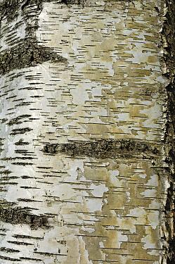 European White Birch (Betula pendula) bark, Netherlands  -  Wil Meinderts/ Buiten-beeld