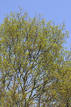 English Oak (Quercus robur), Netherlands  -  Wil Meinderts/ Buiten-beeld