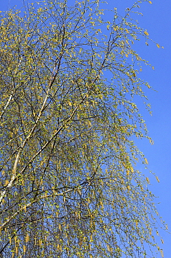 European White Birch (Betula pendula), Netherlands  -  Wil Meinderts/ Buiten-beeld