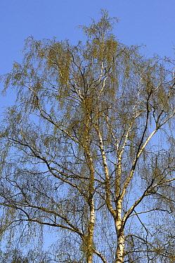European White Birch (Betula pendula) tree, Netherlands  -  Wil Meinderts/ Buiten-beeld