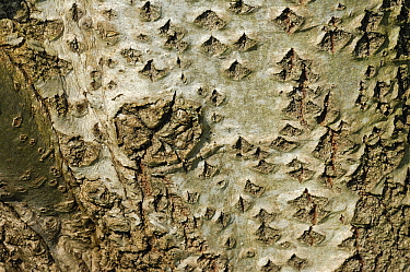Silver-leaf Poplar (Populus alba) bark, Netherlands  -  Wil Meinderts/ Buiten-beeld