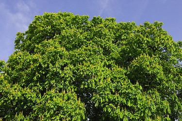 Horse Chestnut (Aesculus hippocastanum), Netherlands  -  Wil Meinderts/ Buiten-beeld