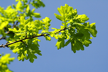 English Oak (Quercus robur) branch with leaves, Netherlands  -  Wil Meinderts/ Buiten-beeld