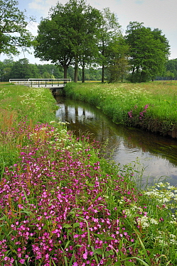 Red Campion (Silene dioica) in bloom along canal, Drenthe, Netherlands  -  Wil Meinderts/ Buiten-beeld