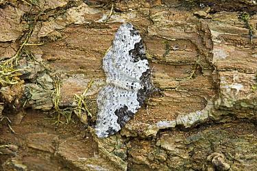 Garden Carpet Moth (Xanthorhoe fluctuata), Noord-Holland, Netherlands  -  Joke Stuurman/ NiS