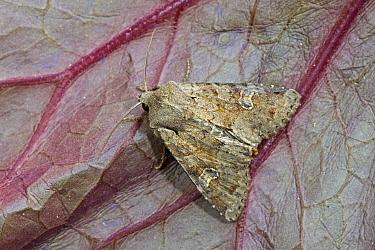 Rustic Shoulder-knot (Apamea sordens) moth, Noord-Holland, Netherlands  -  Joke Stuurman/ NiS
