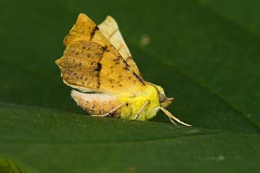 Canary-shouldered Thorn (Ennomos alniaria) moth, Noord-Holland, Netherlands  -  Joke Stuurman/ NiS