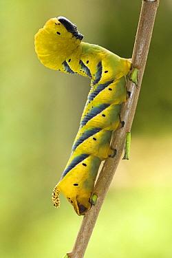 Death's Head Hawk Moth (Acherontia atropos) caterpillar, Noord-Holland, Netherlands  -  Joke Stuurman/ NiS