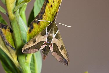 Leafy Spurge Hawk Moth (Hyles euphorbiae), Vajta, Hungary  -  Joke Stuurman/ NiS