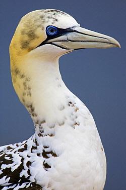 Northern Gannet (Morus bassanus) subadult, Helgoland, Germany  -  Heike Odermatt