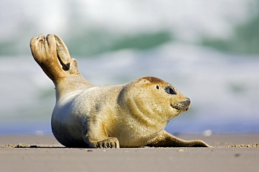Common Seal (Phoca vitulina) young on beach, Helgoland, Germany  -  Heike Odermatt