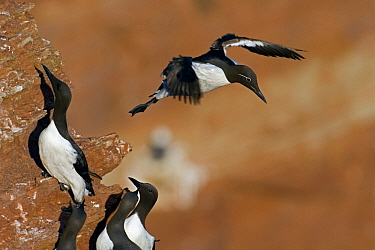 Common Murre (Uria aalge) taking off, Helgoland, Germany  -  Heike Odermatt