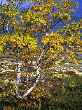 Birch (Betula sp) tree in autumn, ,Dovrefjell, Norway  -  Heike Odermatt