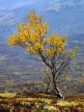 Birch (Betula sp) tree in autumn, Dovrefjell, Norway  -  Heike Odermatt