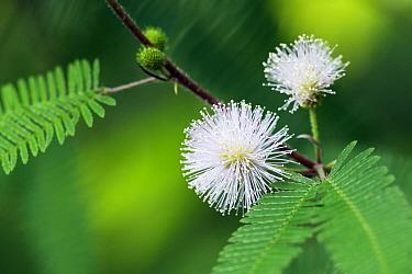 Mimosa (Mimosa spegazzinii) flowers, Argentinia  -  Heike Odermatt