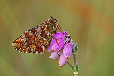 Cranberry Fritillary (Boloria aquilonaris) butterfly on Cross-leaved Heath (Erica tetralix), Drenthe, Netherlands  -  Silvia Reiche