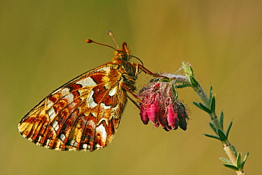 Cranberry Fritillary (Boloria aquilonaris) butterfly on Cross-leaved Heath (Erica tetralix) flowers, Drenthe, Netherlands  -  Silvia Reiche