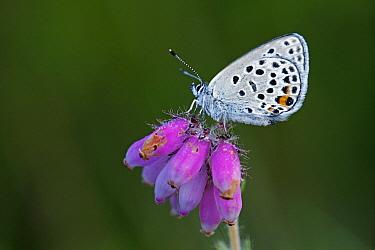 Cranberry Blue (Vacciniina optilete) butterfly on Cross-leaved Heath (Erica tetralix) flowers, Drenthe, Netherlands  -  Silvia Reiche