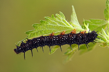 Peacock Butterfly (Inachis io) caterpillar on the leaf of a Stinging Nettle (Urtica dioica), Hoogeloon, Noord-Brabant, Netherlands  -  Silvia Reiche