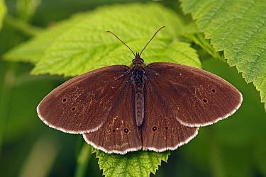 Ringlet (Aphantopus hyperantus) butterfly, De Brand, Noord-Brabant, Netherlands  -  Silvia Reiche
