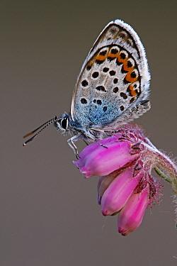 Silver-studded Blue (Plebejus argus) butterfly on Cross-leaved Heath (Erica tetralix) flowers, Noord-Brabant, Netherlands  -  Silvia Reiche