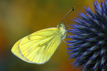 Green-veined White (Pieris napi) butterfly on Globe Thistle (Echinops ritro), Hoogeloon, Noord-Brabant, Netherlands  -  Silvia Reiche