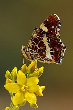 Map Butterfly (Araschnia levana) on Yellow Loosestrife (Lysimachia vulgaris), Hoogeloon, Noord-Brabant, Netherlands  -  Silvia Reiche