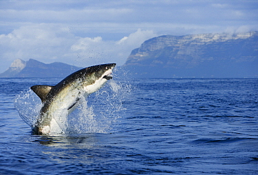 Great White Shark (Carcharodon carcharias) leaping out of the water with decoy in mouth, Seal Island, False Bay, South Africa  -  Stephen Belcher
