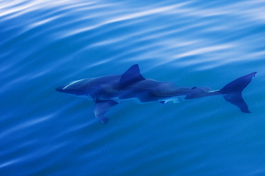 Great White Shark (Carcharodon carcharias) swimming near surface, Seal Island, False Bay, South Africa  -  Stephen Belcher
