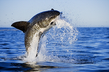 Great White Shark (Carcharodon carcharias) leaping out of the water with decoy, Seal Island, False Bay, South Africa  -  Stephen Belcher
