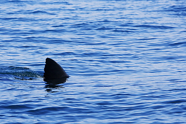 Great White Shark (Carcharodon carcharias) swimming at the surface, Seal Island, False Bay, South Africa  -  Stephen Belcher