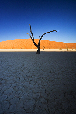 Camelthorn Acacia (Acacia erioloba) dead tree with dunes in background, Dead Vlei, Namib-Naukluft National Park, Namibia  -  Stephen Belcher