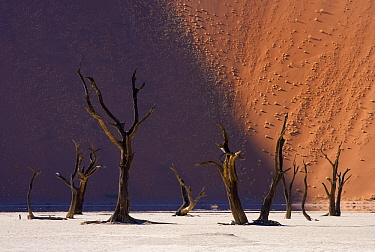 Camelthorn Acacia (Acacia erioloba) dead trees with dunes in background, Dead Vlei, Namib-Naukluft National Park, Namibia  -  Stephen Belcher