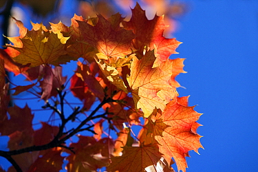 Norway Maple (Acer platanoides) autumn leaves, Germany  -  Stephen Belcher