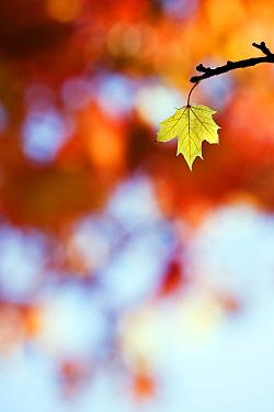 Norway Maple (Acer platanoides) autumn leaf, Germany  -  Stephen Belcher