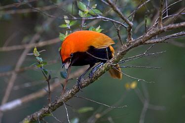 Crested Bird-of-paradise (Cnemophilus macgregorii) male, Papua New Guinea  -  Otto Plantema/ Buiten-beeld