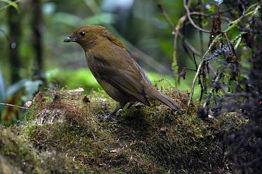 Macgregor's Bowerbird (Amblyornis macgregoriae) male near bower, Papua New Guinea  -  Otto Plantema/ Buiten-beeld