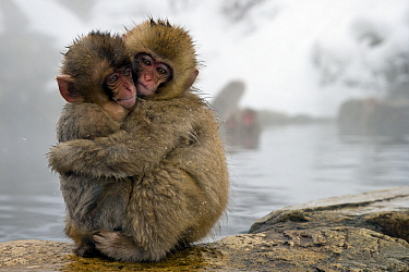 Japanese Macaque (Macaca fuscata) young embracing at edge of hot spring, Jigokudani, Joshinetsu Kogen National Park, Japan  -  Stephen Belcher