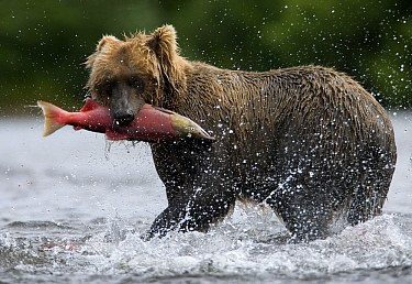 Brown Bear (Ursus arctos) with caught salmon, Katmai National Park, Alaska  -  Stephen Belcher