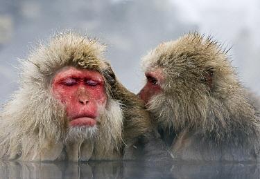 Japanese Macaque (Macaca fuscata) pair grooming in hot spring, Jigokudani, Joshinetsu Kogen National Park, Japan  -  Stephen Belcher