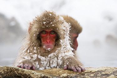 Japanese Macaque (Macaca fuscata) young in hot spring, Jigokudani, Joshinetsu Kogen National Park, Japan  -  Stephen Belcher