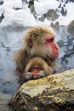 Japanese Macaque (Macaca fuscata) soaking with baby in hot spring, Jigokudani, Joshinetsu Kogen National Park, Japan  -  Stephen Belcher