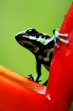 Green and Black Poison Dart Frog (Dendrobates auratus) on heliconia, Selva Verde, Costa Rica  -  Martin van Lokven
