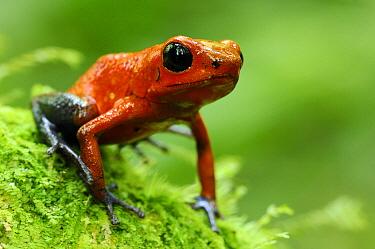 Strawberry Poison Dart Frog (Oophaga pumilio), Laguna del Lagarto, Boca Tapada, Costa Rica  -  Martin van Lokven