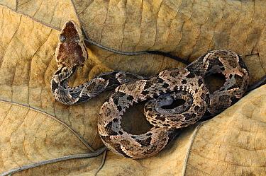 Fer-de-lance (Bothrops asper), venomous, Laguna del Lagarto, Boca Tapada, Costa Rica  -  Martin van Lokven