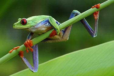 Red-eyed Tree Frog (Agalychnis callidryas), Laguna del Lagarto, Boca Tapada, Costa Rica  -  Martin van Lokven