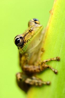 Tree Frog (Hylidae), Laguna del Lagarto, Boca Tapada, Costa Rica  -  Martin van Lokven
